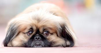 مراقبت سگ آپارتمانی نژاد ( پیکنیز Pekinese )،سگهای عروسکی + ویدیو