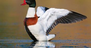 در مورد پرنده تنجه از دسته غاز سانان چه میدانید؟ +گالری تصاویر