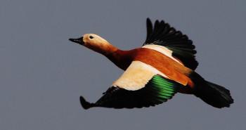 معرفی پرنده آنقوت و جز کدام دسته از پرندگان است ؟ + گالری