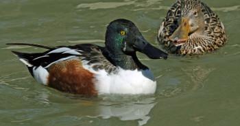 چگونه می توان اردک نوک پهن را تشخیص داد ؟ + گالری و فیلم