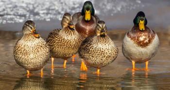 معرفی گونه ای معروف اردک مهاجر ، به نام اردک سرسبز یا اردک کله سبز + عکس