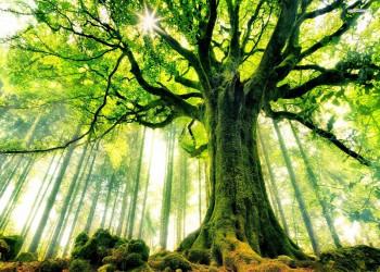 معرفی 25 درخت سایه انداز زیبا - مخصوص باغ و سایه اندازی در فضای سبز