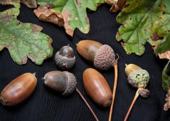 25 خاصیت دارویی و درمان باور نکردنی بلوط (Oak) آشنا شوید