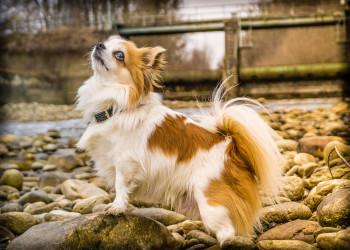 نحوه مراقبت  و نگهداری از سگ چی هوا هوا(  Chihuahua ) + ویدیو