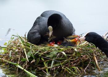 نحوه غذا دادن پرنده به جوجه هایش + فیلم