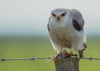 معرفی پرنده شکاری به نام کورکور بال سیاه + آلبوم