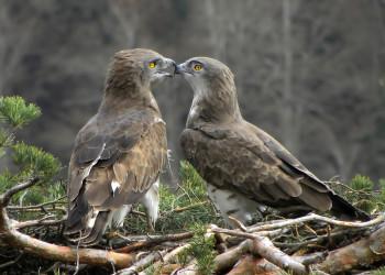 معرفی گونه از عقاب به نام عقاب مار خور و دو ویدیو جالب و دیدنی