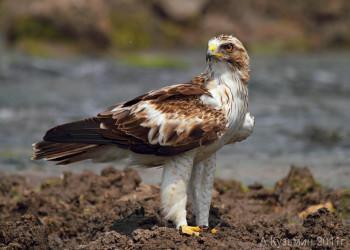 معرفی عقاب مهاجر به نام عقاب پرپا + تصاویر