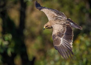 معرفی عقاب صحرایی و شباهت آن با عقاب خالدار کوچک + تصاویر
