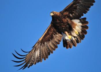 معرفی عقاب طلایی ، فیلم شکار بچه توسط عقاب طلایی