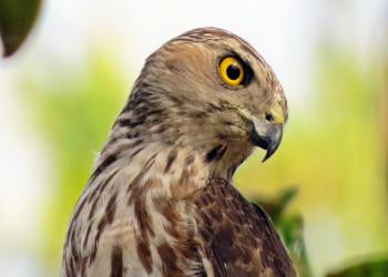 معرفی پرنده شکاری به نام پیغوی کوچک