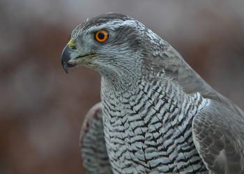 آشنایی با پرنده شکاری به نام طرلان + فیلم و عکس