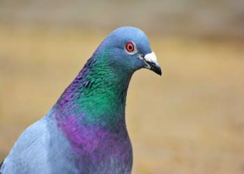 عفونت چشم کبوتر علل ، تشخیص و درمان فوری
