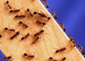 از بین بردن مورچه بدون استفاده از مواد سمی