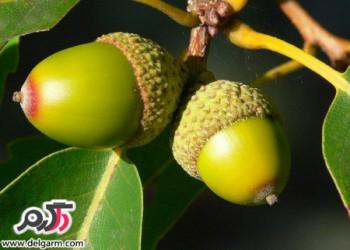از خواص میوه بلوط چه می دانید؟!