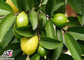 خواص بی نظیر میوه استوایی گواوا برای سلامت پوست و مو