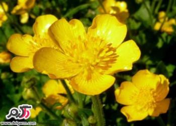خواص دارویی و درمانی عرق گیاه آلاله
