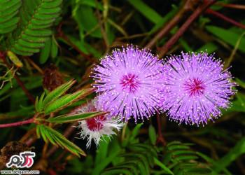 کاشت و پرورش و شرایط نگهداری گل قهر و آشتی
