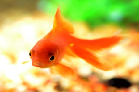 خواندنی های جدیدی در مورد ماهی قرمز یا گلدفیش که تا بحال نشنیده اید!