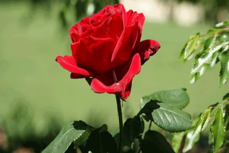 معنی رنگ های گل رز