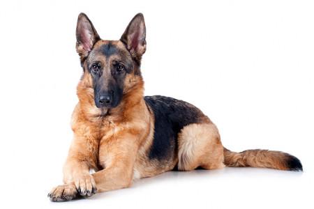 هر آنچه که در مورد مشکلات و بیماری های سگ ژرمن شپرد باید بدانید !