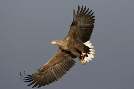 تفاوت عقاب دریایی دم سفید با عقاب طلایی
