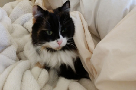 ویروس پارا آنفولانزا یا سرماخوردگی در گربه