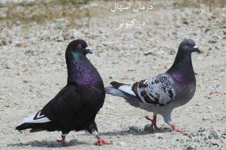 علل، تشخیص و درمان فوری اسهال در کبوتر