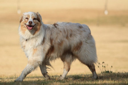آیا سگی که دهانش کف می کند بیمار است؟