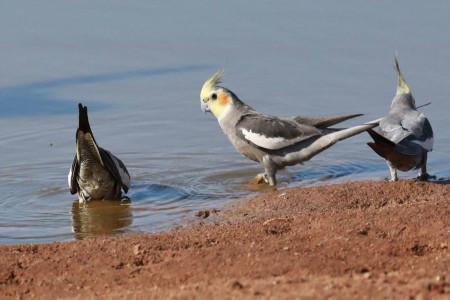 چرا ناخن و منقار پرندگان بلند می شود؟ نحوه صحیح کوتاه کردن آن