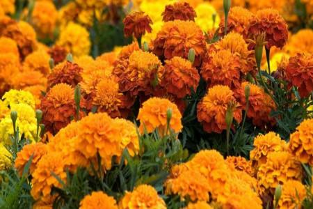 11 خاصیت بی نظیر گل همیشه بهار