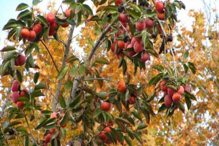 چگونه درخت خرمالو بکاریم؟