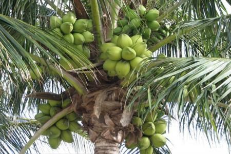 چگونه درخت نارگیل بکاریم؟