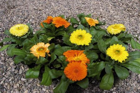 روش های کاشت و نگهداری گل همیشه بهار