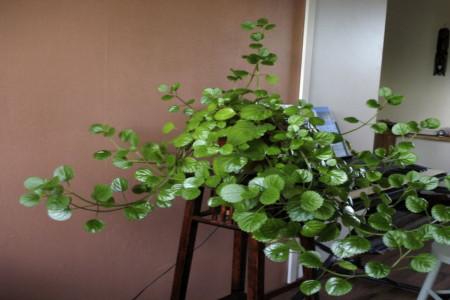اصول کاشت و مراقبت از گل پیچک سوئدی