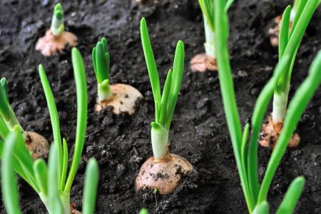 راهنمای کاشت و پرورش پیاز
