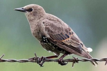 آشنایی با پرنده سار و نقش آن در طبیعت