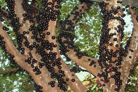درخت توپی درختی عجیب و مرگبار