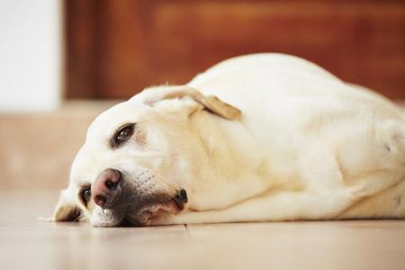 سرفه کنل کاف سگ چیست و چگونه درمان میشود ؟