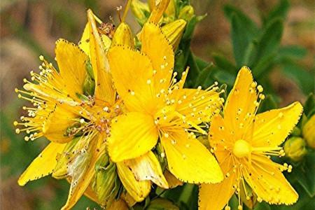 گل راعی چیست ؟ خواص تایید شده روغن گل راعی کدامند ؟