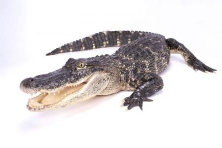 تعبیر خواب تمساح : 45 معنی و تعبیر دیدن تمساح در خواب
