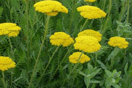 خواص درمانی گیاه بومادران و عوارض آن
