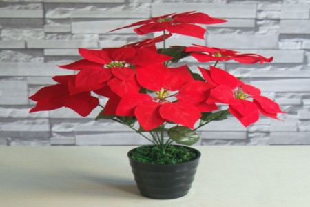 روش نگهداری گل بت قنسول یا گل کریسمس