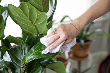 روش های جالب برای براق و تمیز کردن برگ گیاهان آپارتمانی