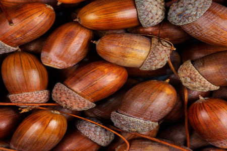بلوط | خواص و فواید میوه بلوط و عوارض و طریقه مصرف بلوط
