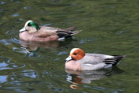 اردک با مرغابی چه تفاوتی دارد ؟