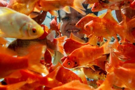 آیا احتمال انتقال سل پوستی از ماهی قرمز به انسان وجود دارد ؟