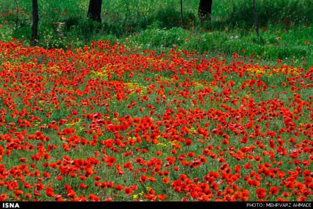 تصاویر دشت شقایق جلفا - آذربایجان شرقی
