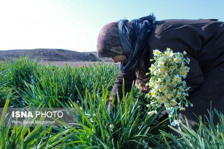 تصاویر برداشت گل نرگس در استان گلستان