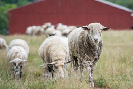 چگونه از منزل گوسفند زنده مناسب قربانی را خریداری کنیم ؟